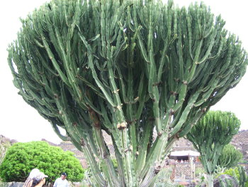 kaktus41