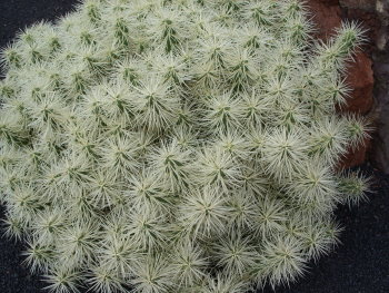 kaktus43
